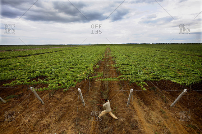 Man jumping over a furrow in a vineyard in Petrolina, Brazil