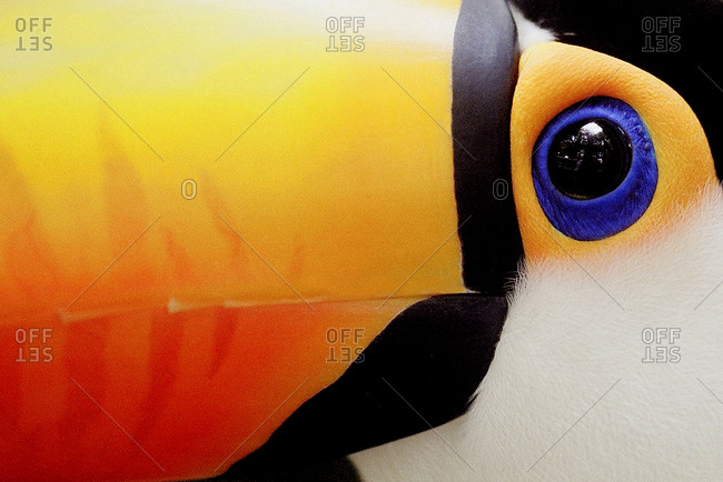Close up of a toco toucan