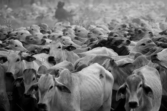 Herd of cattle in black and white