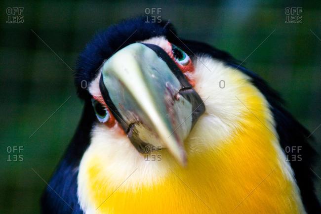 Tucan in Birds Park in Foz do Iguacu, Brazil