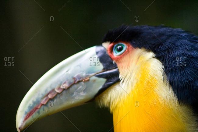 Side view of toucan in Birds Park in Foz do Iguacu, Brazil