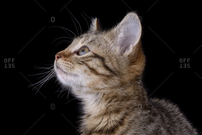 Tabby cat in front of black background