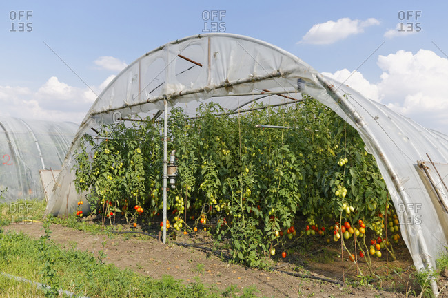 Cultivation of tomato plants