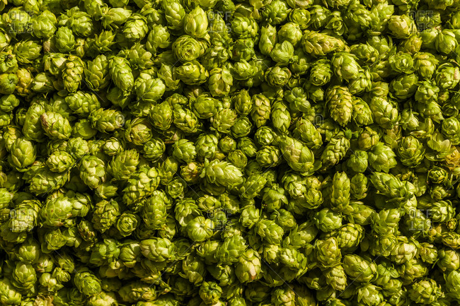 Harvested hops from the Offset Collection