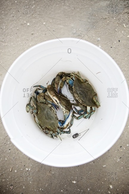 Atlantic blue crabs in a bowl