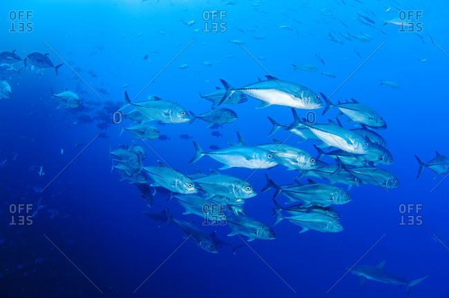 A school of jack fish