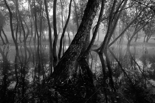Flooded trees in a foggy forest