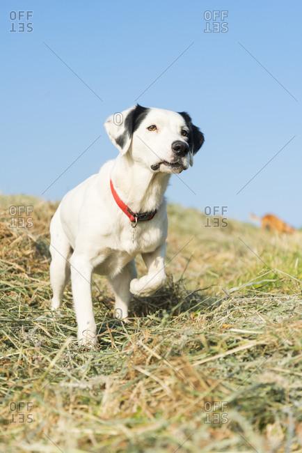 An alert dog in a field