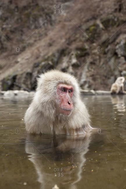 Macaque monkey standing in water