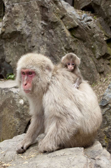 Macaque monkey with baby on back