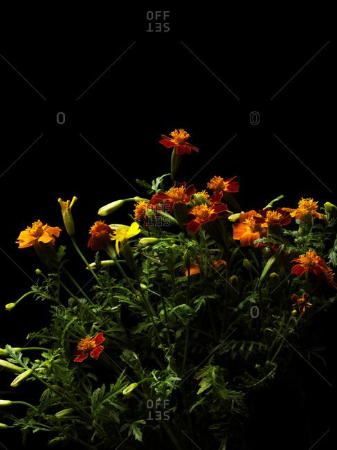 Edible marigold