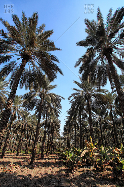 Rows of date palm trees on a plantation