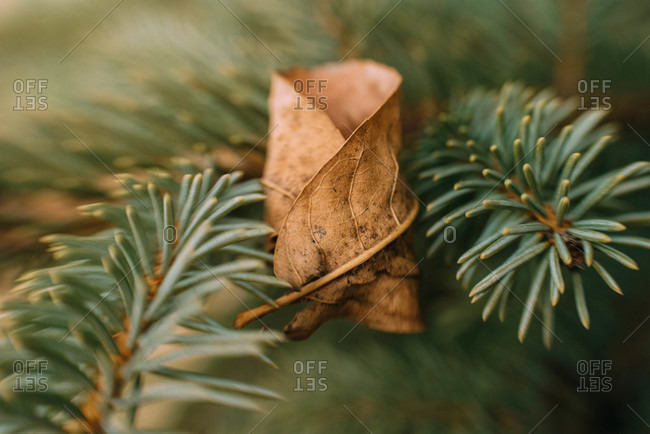 Close up of a dry leaf on a pine tree