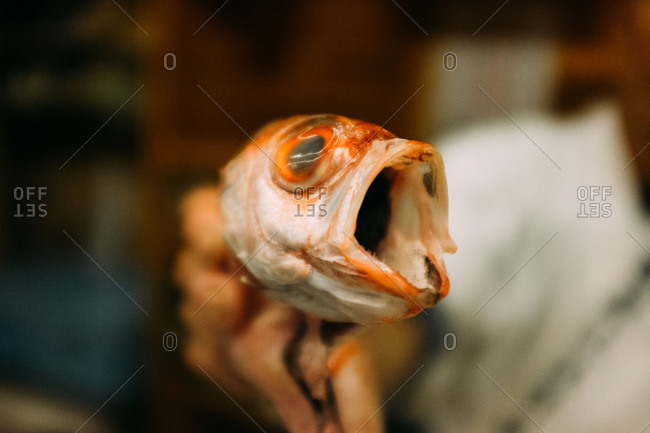 Close up of a captured fish