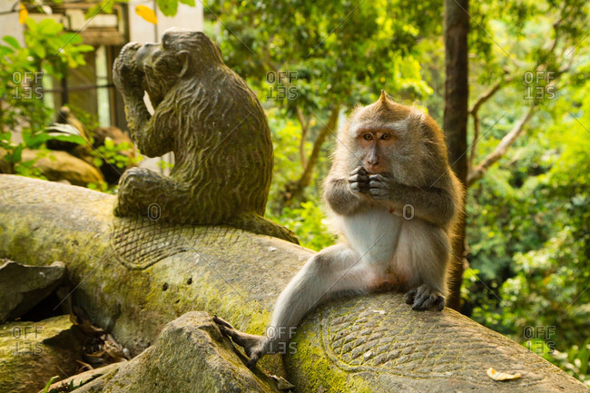 Crab-eating macaque feeding in the Ubud Monkey Forest, Bali