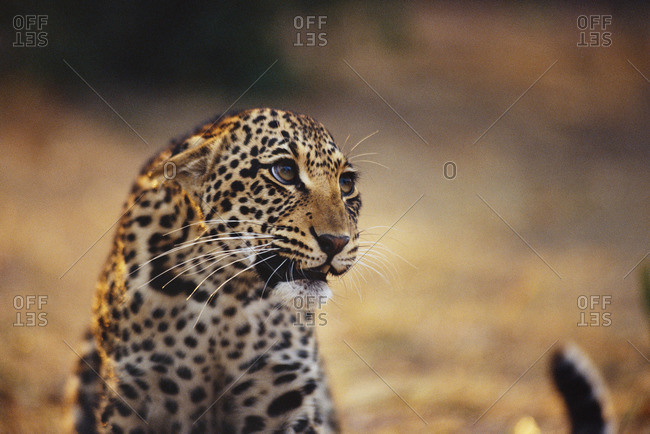 Leopard cub with threatened expression