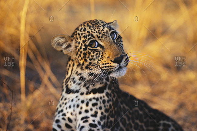 Leopard cub in its habitat