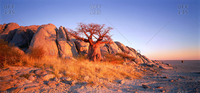 Baobab tree on  Kubu Island, Botswana