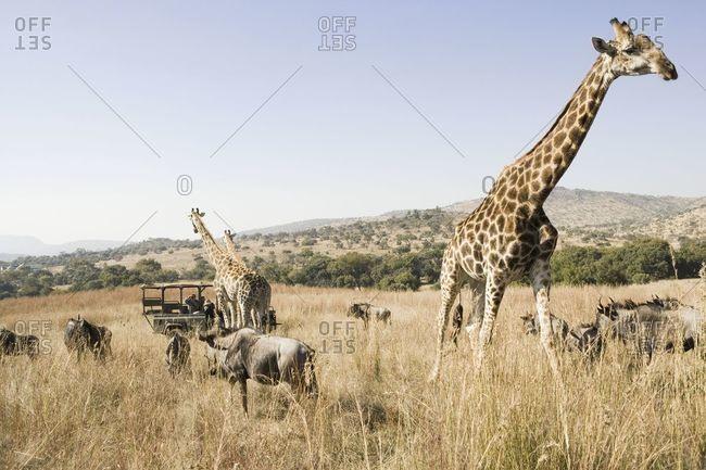 Tourists on a safari in Gauteng, South Africa