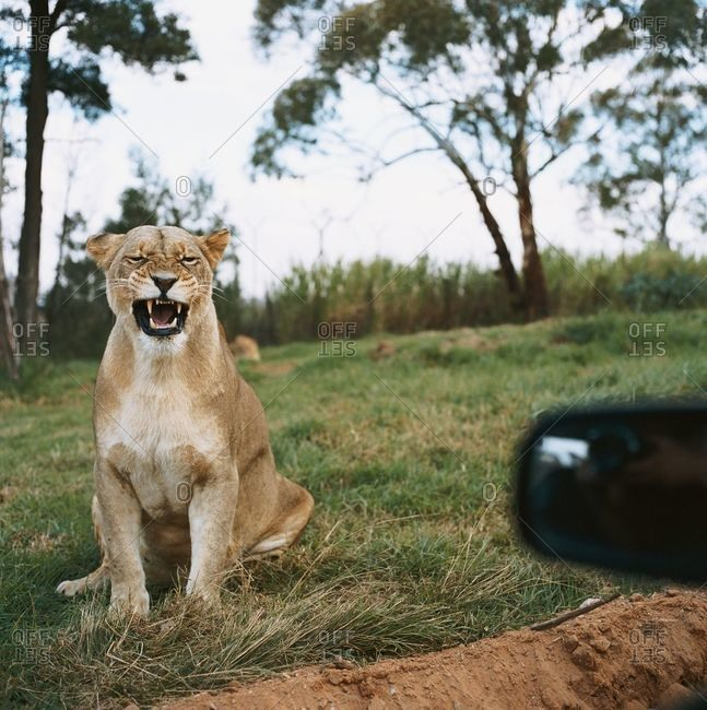 Lion growling at tourists on a safari
