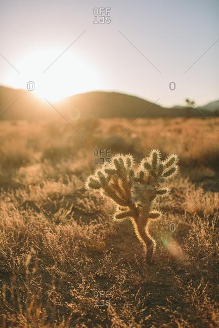 Baby Joshua tree in desert