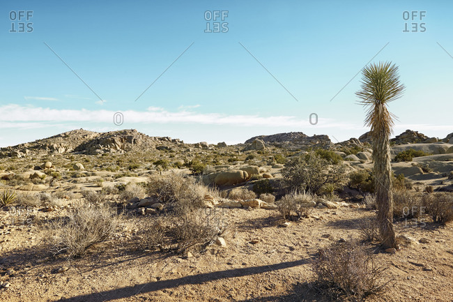 Single palm tree in rugged desert landscape