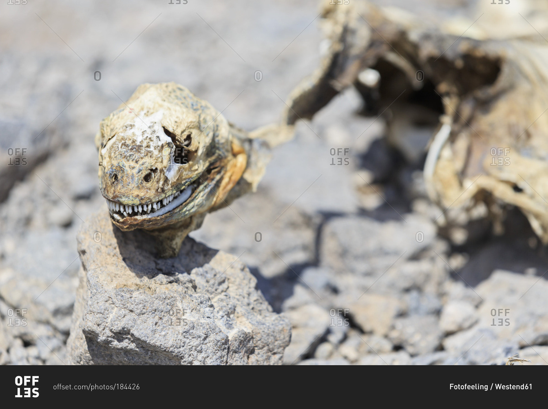Marine iguana (Amblyrhynchus Cristatus), desiccated body, Galapagos ...