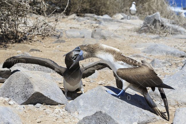 Blue-footed booby feeding young blue-footed booby