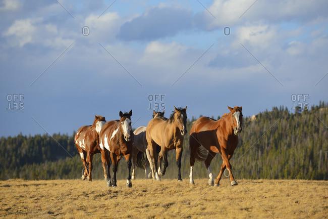 Running feral horses