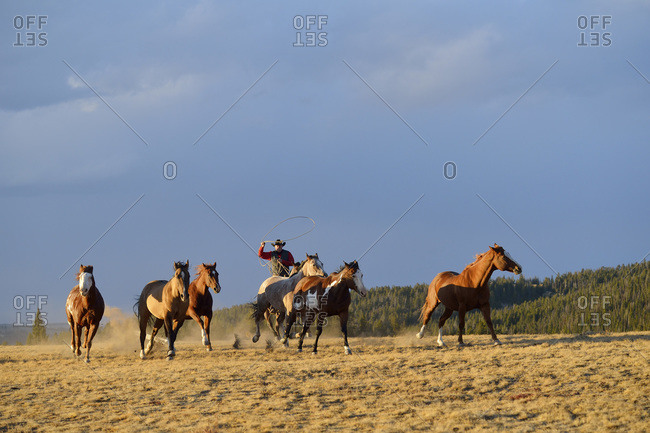 Riding cowboy with lasso herding horses in wilderness