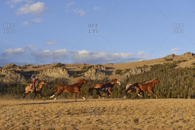 Rider with lasso herding horses in wilderness