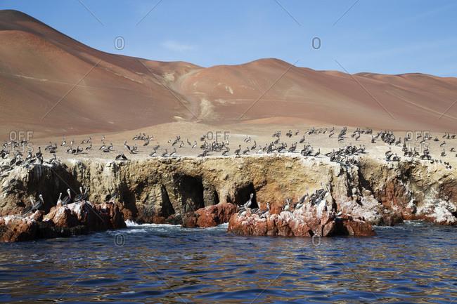 Pelican colony at wildlife sanctuary on Ballestas Islands