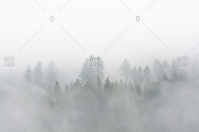 Spruce forest in early morning mist