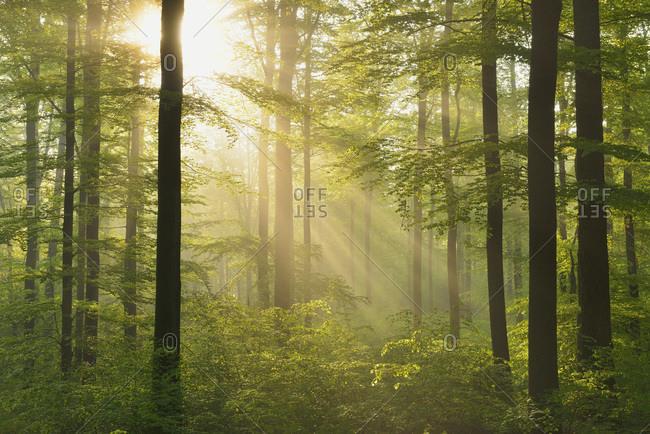 Sunbeams in European beech (fagus sylvatica) forest