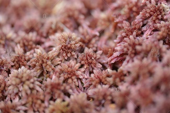 Close-up of sphagnum moss (sphagnum rubellum) in a forest in spring