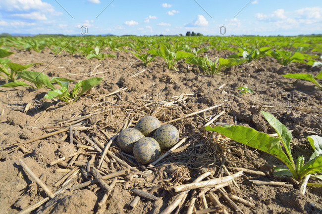 Nest with eggs of a lapwing (vanellus vanellus) in sugar beet field in springtime