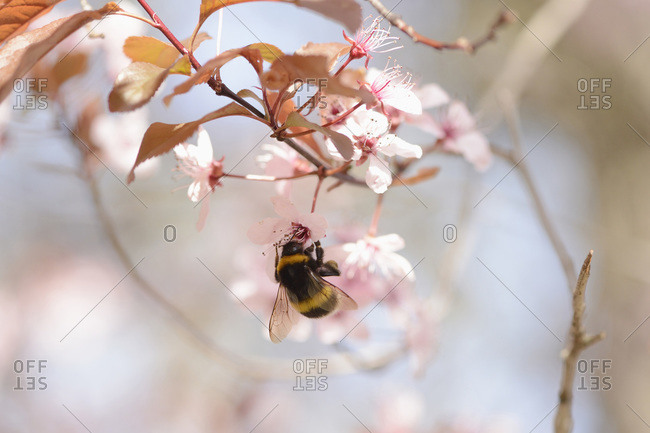 Close-up of tree bumblebee (bombus hypnorum) on cherry plum (prunus cerasifera) blossom in spring