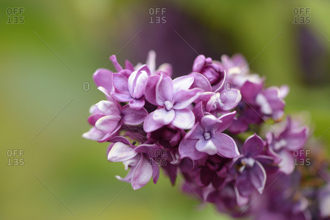 Close-up of common Lilac (syringa vulgaris) blossoms in spring