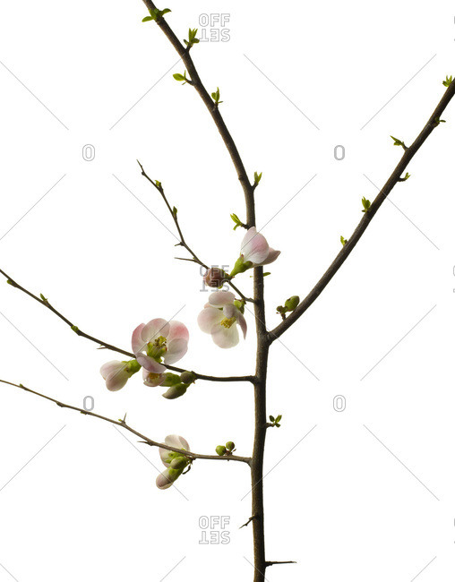 Small branch with cherry blossoms on white background