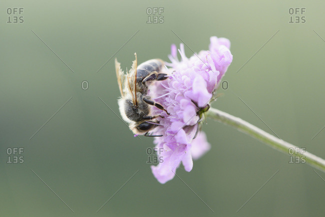 Close-up of European honeybee (apis mellifera) on flower in summer