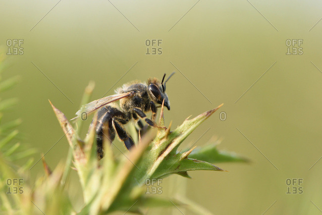 Close-up of European honeybee (apis mellifera) in summer