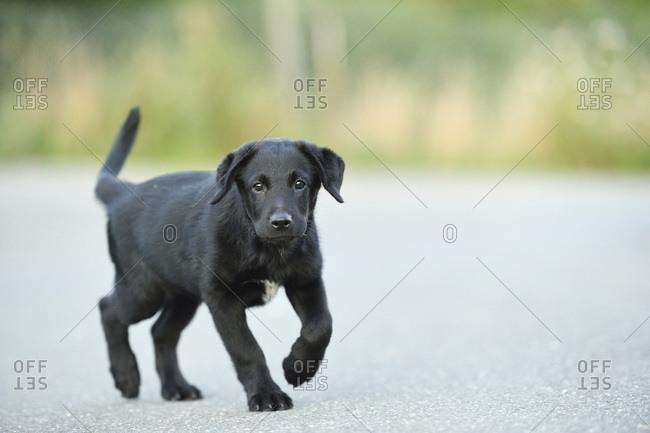 Mixed black Labrador retriever on a street in summer