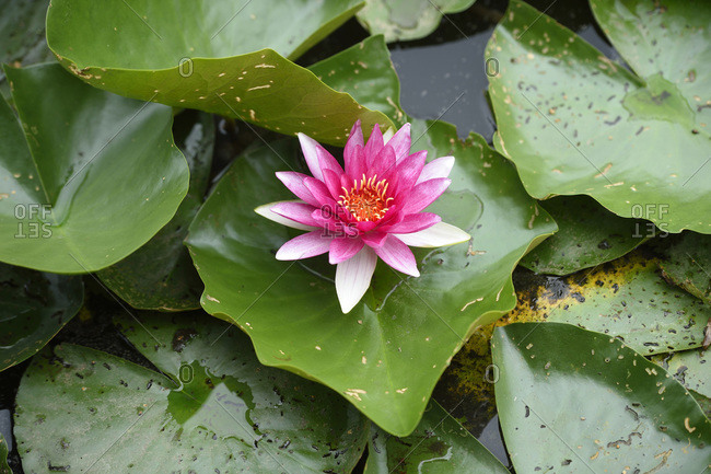Close-up of a water-lily (nymphaea) blossom in a little pond in summer