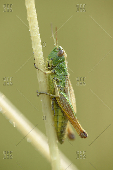 Close-up of meadow grasshopper (chorthippus parallelus) on stalk of grass in meadow in early summer