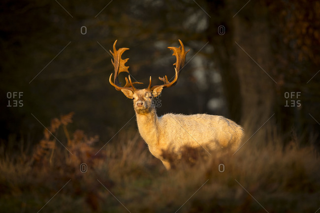 Old stag in morning light