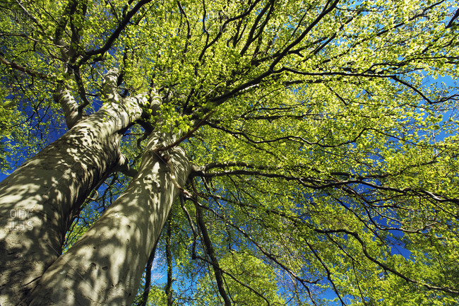 Looking up at a beech tree