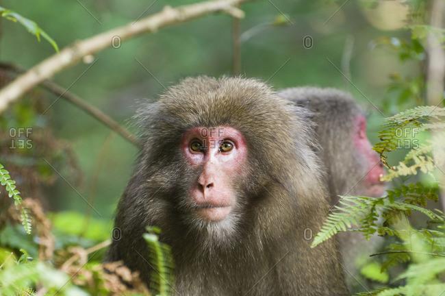 Yakushima Macaques in Yakushima, Kyushu, Japan