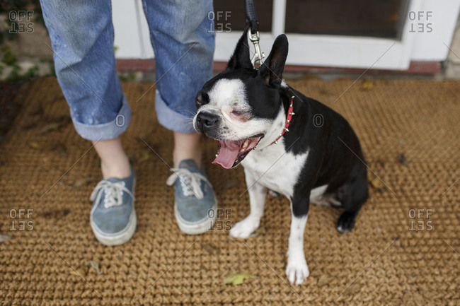 Yawning Boston Terrier on a leash with its owner