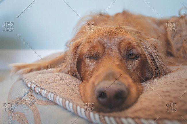 Close up of face of dog on dog bed