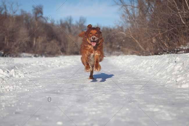 Dog bounding with excitement down snowy path